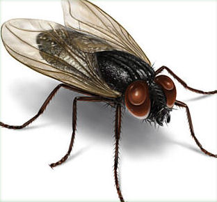 Finding Dead Flies In House http://qpm.ca/Pests/House_Fly-How_to_Kill_Exterminate_Get-Rid_Eliminate_Pest-Control.html